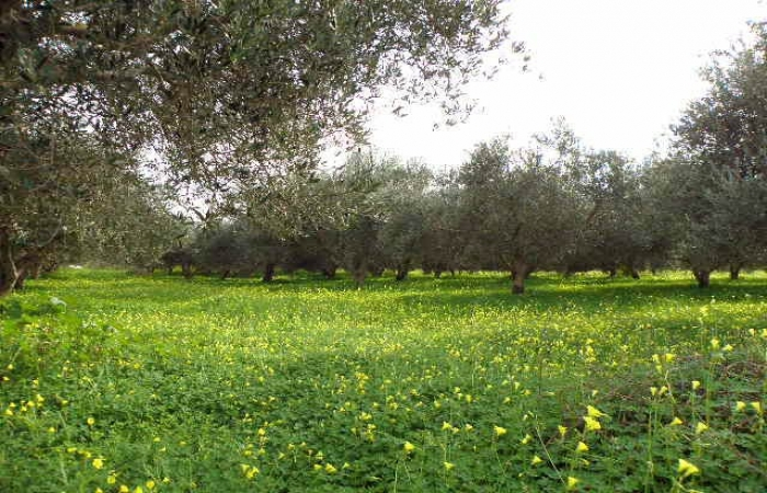 olive_field6