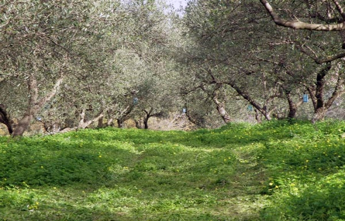 olive_field5
