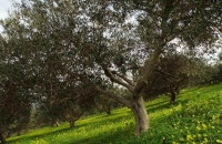 olive_field4